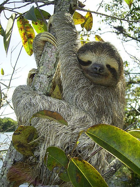 BROWN-THROATED THREE-TOED SLOTH (Bradypus variegatus) rhamphotheca:  What Lives On a Sloth? … The fur of a sloth provides an unique relationship to many species.  In fact, there is actually a whole ecosystem thriving throughout this coarse fur.  First of all, the sloth has formed a relationship with several  species of cyanobacteria (also known as blue-green algae).  The cyanobacteria that live in the fur of the sloth offer a form of camoflage.  Not only does this algae provide camoflage but it inevitabley attracts a host of other organisms.  One study found 950 beetles living on a single sloth. That's right, 950 beetles crawling all over and feasting on the cyanobacteria.  It doesn't stop there though, there is a particular type of moth that depends on the sloth to survive.   This moth also lives in the fur and when the sloth heads to the ground, the moth will leave very quickly to lay its eggs in the dung before catching a ride back up the tree on the sloth.  The eggs will hatch and the caterpillars will turn to moths and eventually find their own sloth ecosystem to live in… (read more: Wild Facts)