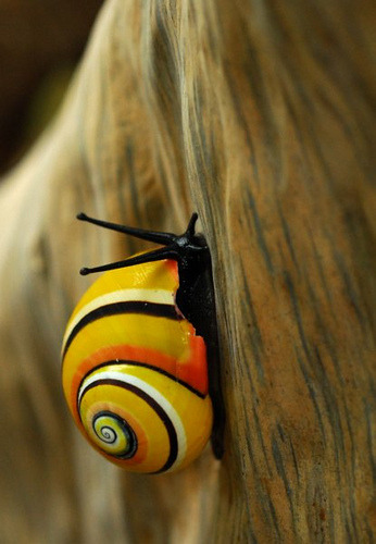 "PAINTED SNAIL - or CUBAN LAND SNAIL - (Polymita picta) ©Adrián González Guillén Their common name the ""Cuban land snail"" or the ""painted snail"", is a species of large, air-breathing land snail, a terrestrial pulmonate gastropod mollusk in the family Helminthoglyptidae. The shell of this species is large, brightly colored, and has numerous color varieties. This species is the type species of the genus Polymita. This snail is endemic to Cuba. Fact Source: http://en.wikipedia.org/wiki/Polymita_picta Other photos you may like: Banana Slug Green Snail Common Garden Snail"