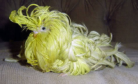 "CURLY SUE - an ENGLISH BUDGIE with Feather Duster Syndrome (Melopsittacus undulatus) ©Maryann Rizzo Note: I first posted about this genetic mutation in English Show Birds back in December of 2010, but I recently received a post from Maryann Rizzo, an AFA certified Aviculturist who rescues birds and Feather Dusters from Breeders as a hobby and who owned the ""Curly Sue"" the bird pictured. Here's what she said… —- Curly Sue was my first of 6 feather dusters.  She was a Cinnamon Grey Green color mutation. She was rather high functioning, could perch well, could climb. I kept her in a small cage in case if she fell off the bars, that way she wouldn't hurt herself.Feather Dusters do not eat constantly as in an article I read, they eat normally like any other bird, IF they can see the feed dish, which I made sure of.  Curly Sue'ss grooming consisted of shaving/scissoring around the eyes, as you can see in her photos, her vent and scissoring the lower belly and chest feathers as they grew so long she would step on them and trip.  They do have an odd croaking noise rather than a chirp, yet, my other hen Candy Girl, did in fact chrip and sing but with a deeper voice, but it was lovely.   Curly Sue lived 10 months.  She was the second longest lived of my flock.   She was a VERY sweet, beautiful and friendly bird. They really are lovely beautiful creatures. I simply LOVE the look of them.  Alll that curly feather growth, not unlike a frilled canary. The excess feather growth however takes a real toll on their system and if you don't or can't keep up with their nutritional needs they go very sparse in feather. All my birds passed away with amazing full feathers.   As I say, very beautiful birds.  If you handle them from the nest, they are extremely calm and freindly.  If you keep their eyes clear, they can see well and are unafraid. Other photos you may enjoy: Andean Cock of the Rock Victoria Crowned Pigeon Frizzle Chicken Buff-laced Polish Chicken —- I can now be emailed at: animalworldtumblrblog@gmail.com"