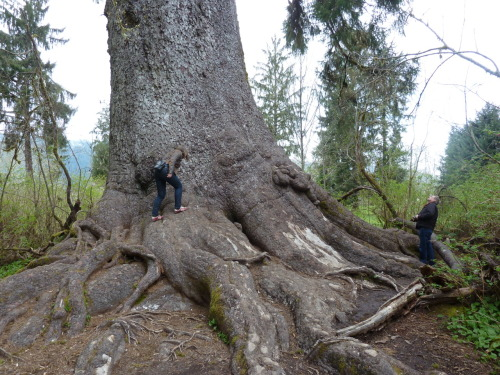 Olympic Peninsula: worlds largest sitca spruce, mom & dad