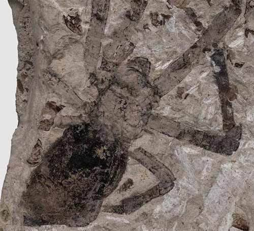 Fossilized female orb-weaver spider from the Jurassic.