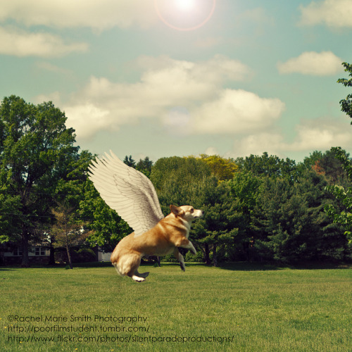 Corgi Fluffy Angel Love. I just can't get enough!