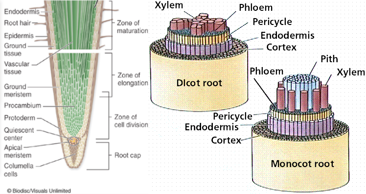 The dicotyledonous root contains many structures. In a longitudinal section, the root cap is at the tip of the root and serves to protect the growing root and the layer of meristematic tissue under it. Underneath the root cap is the apical meristem, which gives rise to undifferentiated cells. The zone of cell division is after the apical meristem and includes procambium tissue. The zone of elongation is the area where cells mature and lengthen, thus pushing the root into the soil. The zone of maturation is after that of cell division and elongation; the maturation zone has vascular tissue in its center and root hairs extending from individual epidermis cells, which increases surface area for nutrient absorption. From the zone of cell division up to the zone of maturation there is ground tissue between the epidermis and endodermis. The cross section of a dicot root has xylem for water transport arranged in star shape in the middle, surrounded by phloem, which transports sugars, with a ring of pericycle and endodermis surrounding the vascular tissue. A layer of cortex lies between the endodermis and the exodermis. In a monocot root cross section, ground tissue forms a pith in the center of the section, with xylem and phloem in respective rings around the pith. Just as in the dicot root cross section, that of the monocot root also has a ring of pericycle and endodermis, respectively, encompassing the vascular tissue, and a layer of cortex between the endodermis and exodermis.