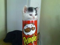 the-absolute-funniest-posts: My cat likes to hide in Pringles boxes.