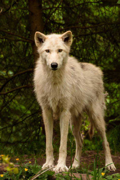animalia:  A female Gray Wolf. Photograph by Justin Schmauser.