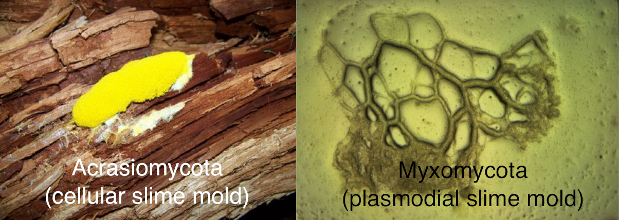 There are two main slime mold phyla in Kingdom Protista, each with its own distinct characteristics. Phylum Acrasiomycota (cellular slime molds)  Cellular slime molds closely resemble amoebas in structure. These molds live independently until food runs out. A starving amoeba secretes the hormone cyclic AMP into the environment. Other amoebas detect the cyclic AMP as a food source and aggregate from great distances to follow the concentration gradient to the dying amoeba. The amoebas then attach to one another and become what seems to be a functioning multicellular organism. The moving slug finds a suitable habitat before forming itself into a diploid fruiting body called a sorocarp, which releases encysted amoebas or diploid macrocysts. The released amoebas live independently until food resources are depleted, then the cycle is repeated.  Phylum Myxomycota (plasmodial slime molds)  A plasmodial slime mold is essentially one large cell, which is possible due to the mold's multiple nuclei that create many RNA. This type of mold lives as a non-walled multi-nucleated mass of slime in its feeding phase. The nuclei of the mold, which can be either a diploid or haploid species, undergo mitosis. Fruiting bodies are formed under harsh conditions. The spores produced by the sporangium are either diploid or haploid, depending on the ploidy of the plasmodium as a whole. The spores undergo meiosis to produce gametes. After the spores are released, the gametes fuse when they come in contact with one another and undergo repeated mitosis to form a multinucleate plasmodium.  The molds of these phylums are similar in that those of phylum Acrasiomycota converge to form a seemingly individual organism from many amoebas, while a mold of the phylum Myxomycota is essentially one large cell that functions as individual cells because the large cell is multi-nucleated. The reproductive cycles of the two phylum differ in that cellular slime mold gives rise to fruiting bodies and release amoebas, while plasmodial slime molds produce gametes that must fuse to and undergo mitosis to form the new plasmodial slime mold.
