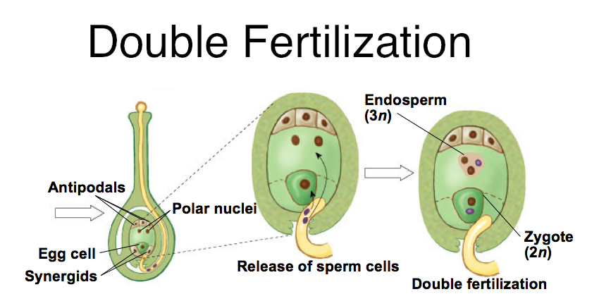 Double fertilization in an angiosperm plant is the process by which a zygote and triploid endosperm are created. One sperm nucleus fuses with the eg nucleus, thus producing a zygote. The other sperm nucleus fuses with the polar nuclei, thus producing a triploid endosperm that serves as nutrients and feeds the developing embryo.