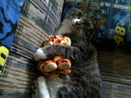 Awe, Kittehs with their cuddly toys gets me every time! sologatos:   (via meowfacecat)  8652