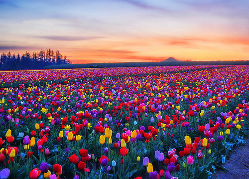 Tulip Fields, Skagit Valley, Washington