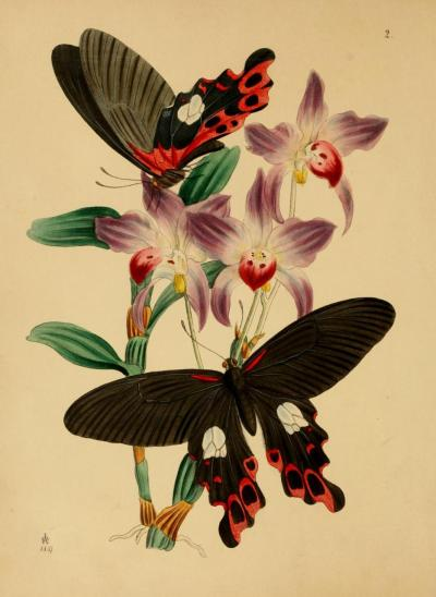 "biomedicalephemera:  From ""Cabinet of Oriental Entomology"" by J.O. Westwood, Esq.  Even though it's titled ""Oriental"", the insects are from India and the adjacent islands."