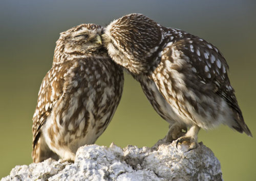"mabelmoments:  Two Little Owls (Athene noctua) were spotted getting affectionate as they prepared to start their mating season. Wildlife photographer Roy Mangersnes captured the romantic scene outside Lleida, in the Catalonia region of Spain. He explains: ""There were some lovely shows of affection; when the female approached the male he would seem to gently ""kiss"" her forehead."