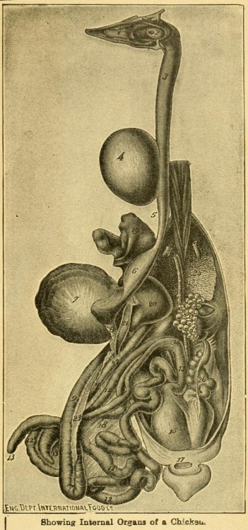biomedicalephemera:  Internal organs of the Chicken