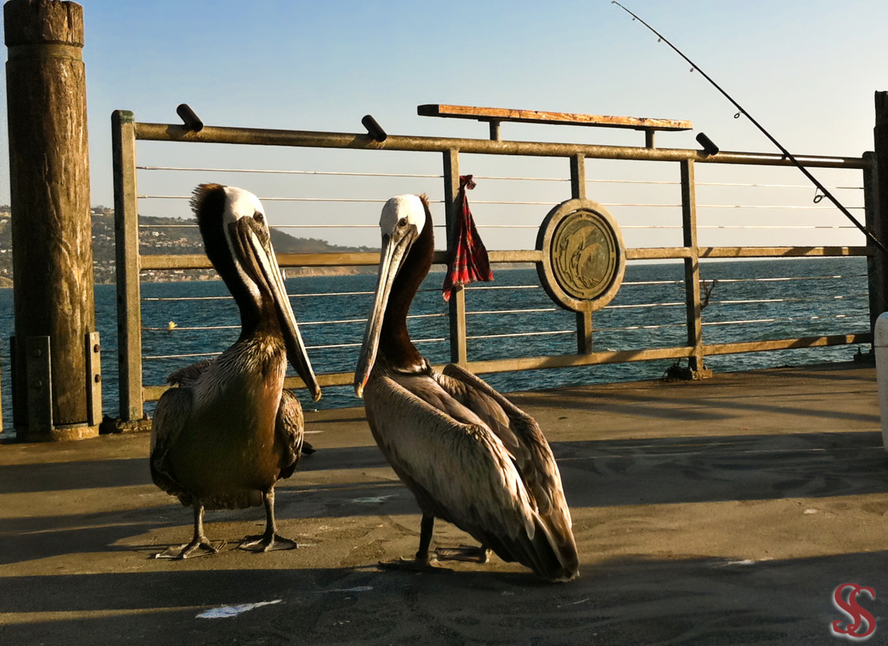 Pelicans - Redondo Beach, California with iPhone 4 Camera