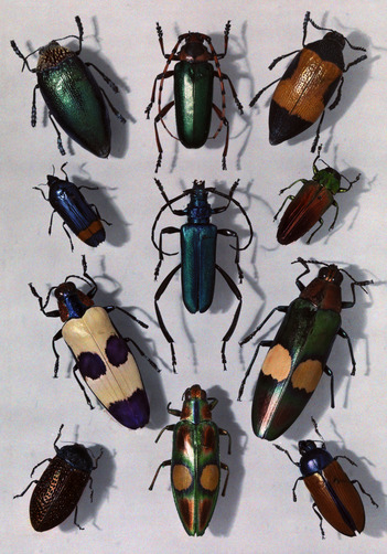 A collection of beetles. Location:Studio shot.Photographer:EDWIN L. WISHERD/National Geographic Stock