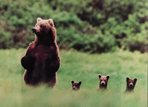 So cute! Mama Bear and her three cubs.