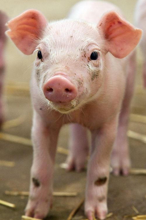(via Little Pigs, Little Pigs… - ZooBorns)