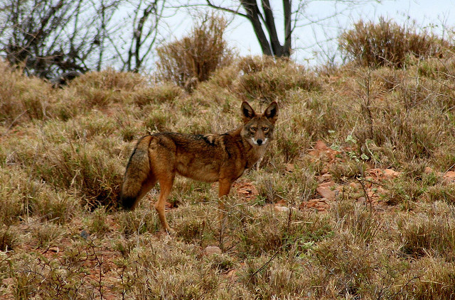 E. Wiley Coyote by Brujo+ on Flickr.en México