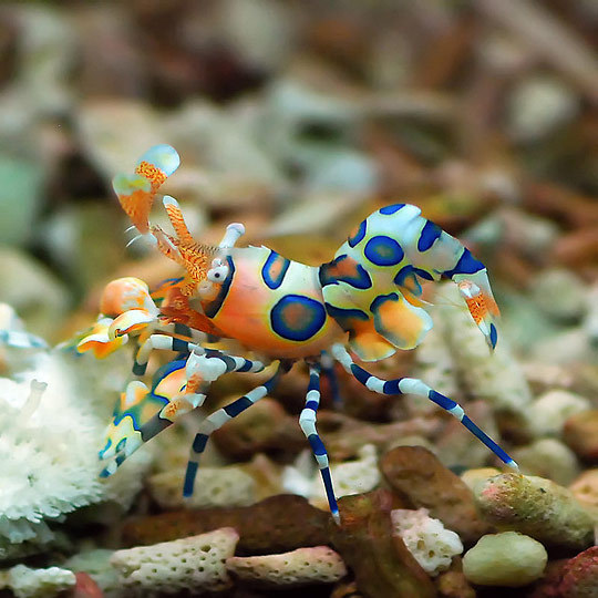 oranges-and-licorice:  Harlequin Shrimp (Hymenocera picta) - pattpoom