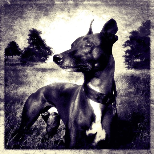 slickwhippet:  scanning a briar patch