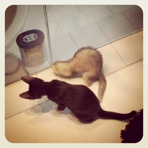 なにやってるの? #cat #ferret (Taken with instagram)