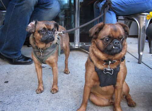 thestreetdogblog:  Shelly and Hip Hop the Brussels Griffons at Soho Park on Prince and Lafayette.