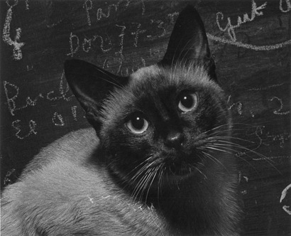 Vilem KrizPortrait of Jean Cocteau's Cat, Paris 1948 8 x 10 inches Ferrotype Gelatin Silver Print Printed Later link