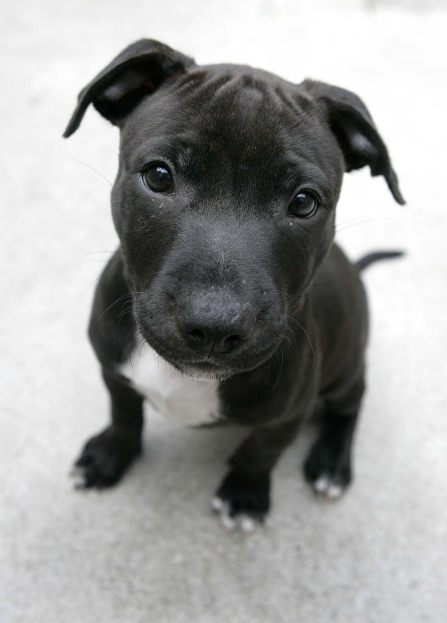 One of these days I will own a gorgeous little Staffie and love it forever <3