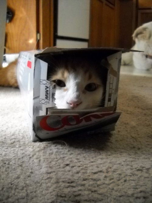 get out of there cat. you are not diet coke. you do not have zero calories you are a cat.