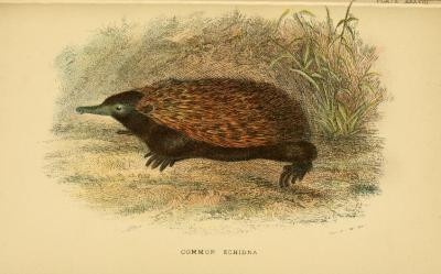 Echidna! From A Handbook to the Masupialia and Monotremata by Richard Lydekker. 1896. Part of the Lloyd's Natural History series.