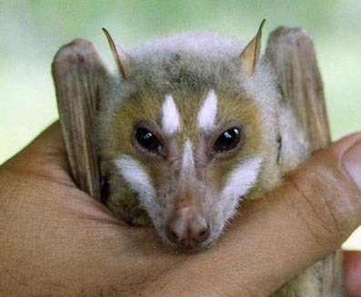 milicentbrovovich:  I think fruit bats look like little dragons.
