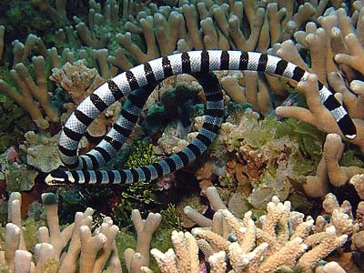 Stuff I've seen The yellow lipped sea krait, Laticauda colubrina, is the most common of sea krait species, however they are still a relatively uncommon sight in the waters off Tioman. In my time here I have seen only 3 and last week saw the biggest one of these hunting over the staghorn coral off Pulau Tulai.  So these amphibious reptiles spend the majority of their time in the water, popping up every now and again to take a breath of air. They have laterally flattened paddle like tails, an adaptation which allows them to move through the water with ease. They also have valves on their nostrils so they can close them when they dive. Although they are well adapted to their ocean lives they do also come up onto land. Unlike most sea snakes, that are viviparous, the female yellow lipped krait lays around 4-20 eggs per nest buried in the vegetation on small islands. They also come onto land to shed their skins, digest food, or to just have a little rest. The venom of a yellow lipped sea krait is neurotoxic and is ten times more lethal than that of it's terrestrial cousins the rattle snake or black mamba. But luckily enough sea kraits are pretty chilled out and non-aggressive so it's no problem floating at a safe distance watching them go about their business.