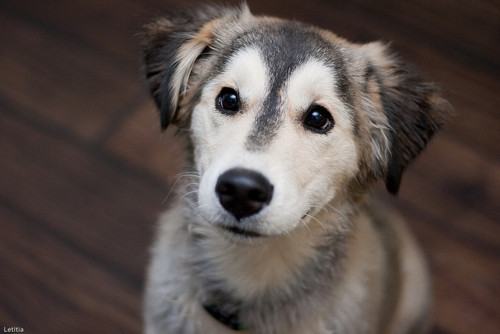 Husky Golden mix, cutest dog ever?