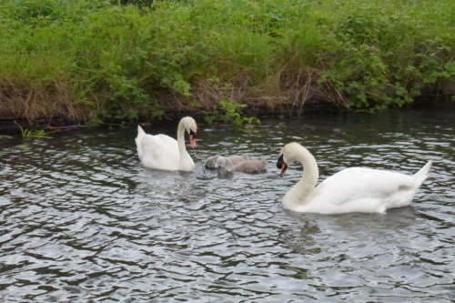 May 26th - On a windblown canal near Catshill Junction, I noticed the swans had two very young cygnets. These cute balls of grey fluff were relaxed and happy to be fed by their parents, who didn't show any of the usual signs of swan aggression towards me. Not sure if this is the pair from by the Watermead Estate or the former mill at Catshill, but it's nice to see. I do find myself wondering why we're no longer seeing the broods of 8 and above as we did a few years ago, though.