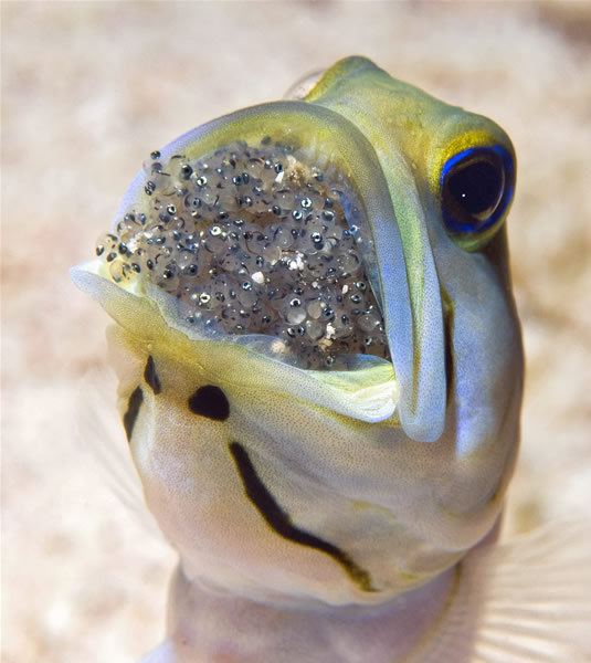 wnycradiolab:  geneticist:  A Jawfish incubating its eggs in its mouth. (Source)  I know this shouldn't gross me out but, well, ick.  I think it's adorable