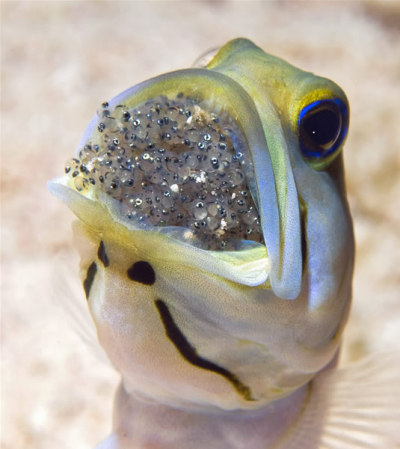 wnycradiolab:  geneticist:  A Jawfish incubating its eggs in its mouth. (Source)  I know this shouldn't gross me out but, well, ick.