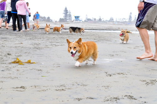 unaware corgi struts his stuff while derpface corgi zooms up from behind!