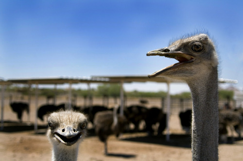 metaljamie:  Truths: I wasn't afraid of ostriches until I visited The Rooster Cogburn Ostrich Ranch. Now, I am both slightly terrified and a little fascinated.  Downside - they can split open my guts with one kick to the midsection. Upside - THEY ARE LIVING DINOSAURS!