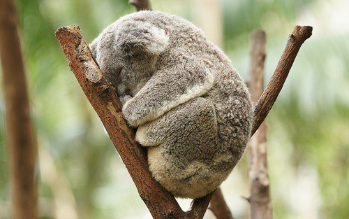 thepiraticalconductor:  OH MY GOD. LOOK AT IT. LOOK. AT. IT. IT IS A KOALA AND IT'S NAPPING AND I JUST WANT TO SNUGGLE WITH IT. IT'S SO FLUFFY, I'M GONNA DIE.