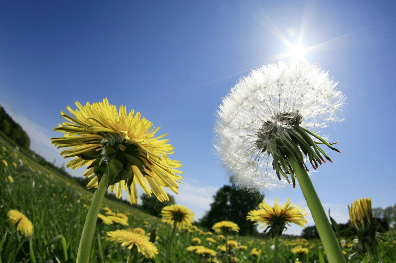 "Dandelions finally get their day in the sunAfter decades of digging up, poisoning, burning and cursing the dandelion, Canada is slowly giving up its struggle against the ubiquitous weeds.The latest sign the much-maligned yellow flower is regaining respect: Calgarians can now let their front-yard dandelions flourish without fear of getting ticketed.""There's no toxicity, there's no impact on people, pets or ecology and the plants are edible,"" says Zella Johnson, store supervisor at GardenWorks, a Victoria, B.C., garden centre. ""People just don't like the look of them."" Plenty of lawns are overrun with non-grass species such as moss or clover, but bright yellow dandelions are simply the most noticeable, says Ms. Johnson. (Philipp Guelland/AFP/Getty Images)"