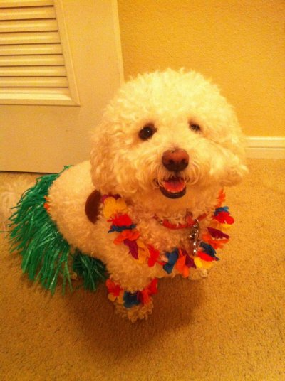my maltipoo candy dressed up as a hula dancer Submitted by jmooooon