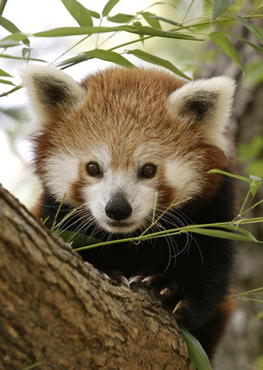 Red Panda: Just like giant pandas, these pandas primarily eat bamboo and live in temperate forests in China, as well as Myanmar and other south Asian countries. (via Asian Animals Photo Gallery)