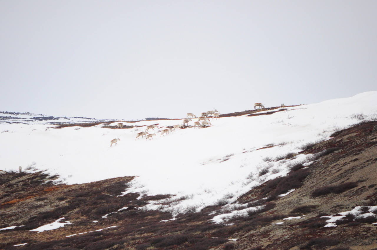 about 200 caribou passed through the day I took this photo.