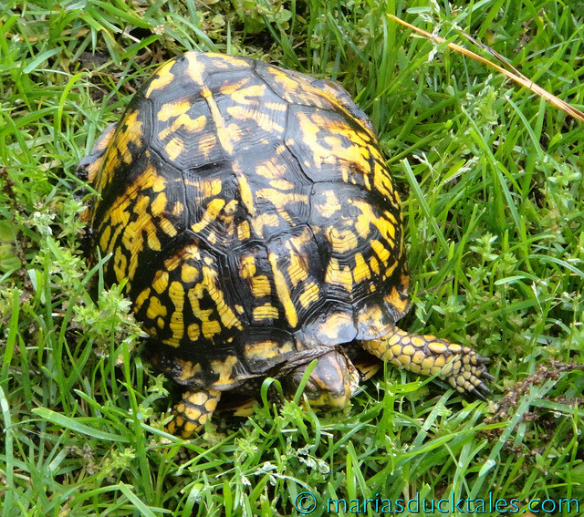 "On ""day 4"" of … on Flickr. Sure enough, I found my turtle near the pond at 8 a.m. - yesterday, it was 8:30 a.m. - so he or she is, it seems, a creature of habit. Turtles, sadly, are in decline on the East End of Long Island so to have one in my garden is thrilling!"