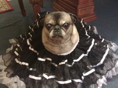 submitted by jadedgemini14   Here is a pic of my Pug Cuddles. She passed away but this is my fav pic of her