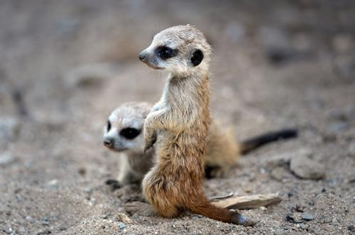 mothernaturenetwork:  Two baby meerkats sit in their sandy enclosure at the zoo in Gelsenkirchen, Germany, on May 10.  adorbsss