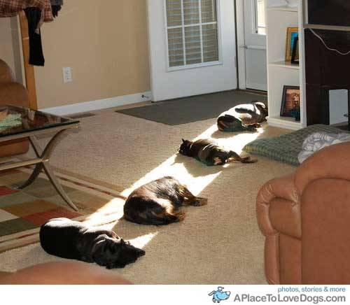hernamewasbilliejean:  Four dogs lazily enjoying the sun beam.
