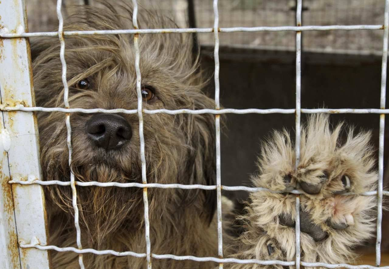 Toronto motion would restrict pet store sales to rescue, shelter animalsCritics proposed the ban as a way to address the number of unwanted pets, to discourage impulse purchases of cats and dogs in pet stores and the overpopulation of feral cats, along with the treatment of the animals in pet shops.Councillor Glenn De Baeremaker is proposing that all retailers certify their animals are obtained from either a registered humane society, a registered shelter or rescue group or a municipal animal shelter (Photo: David Mdzinarishvili/Reuters)