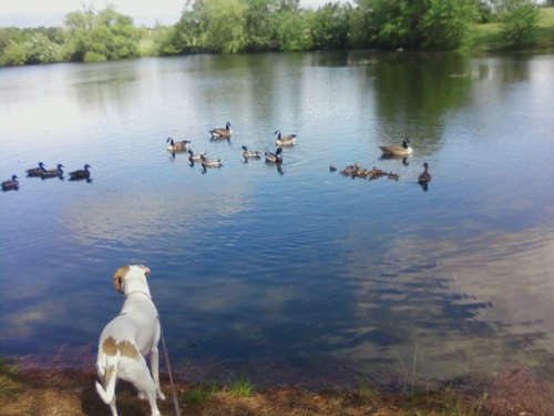 this is a picture of my dog looking at some ducks in a lake 6_9