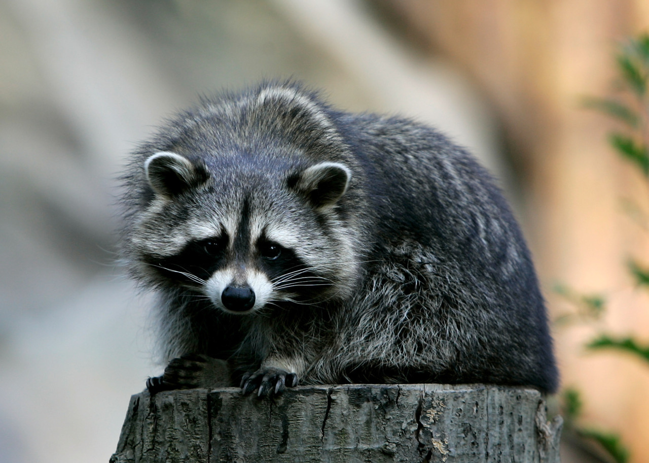 "Man arrested for allegedly attempting to kill raccoons with a shovelA 53-year-old man has been arrested after allegedly attempting to kill a family of raccoons in the backyard of his west-end Toronto home Wednesday. Police received a call before 6 a.m. Wednesday morning from a neighbour who said a man was beating several baby raccoons with a shovel. ""You can't refute that there is a raccoon issue in the city, but there are more humane ways to deal with it,"" Const. Drummond said. ""There are a number of professional services on the city website. Putting moth balls in the garden, for example, is one way of dealing with raccoons."""