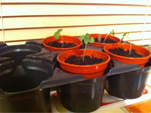 The Basil seedlings were looking healthy and ready for repotting so they've been transplanted into 'grown up' pots tonight. I'll be placing them outside in the day & bringing them in at night for a few days until they adjust to the outside world!  The nasturtiums & peas are doing well and should be flowering this month, and there's already a flower on one of the tomato plants so hopefully there will be fruit coming soon (fingers crossed).  The stock seedlings are about a week away from potting-on.  The chillies and peppers are finally showing seedlings too although the spring onion still isn't showing signs of life - not sure if they take a long time to germinate as I don't have the seed packet anymore, not to worry I think I've got enough to be getting on with.